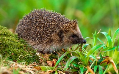 Wildlife to see in April – Hedgehogs