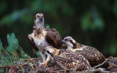 Wildlife to see in April – Osprey