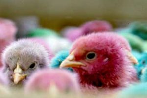 © David Beeson: Wild organisms have genetic variability. Some will be better suited to a location than their peers and will pass on their beneficial genes. [These dyed chicks were in a French country market.]