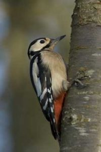 Greater Spotted Woodpecker who frequently landed on the tree trunk on the way to the food above - Andrew Crystal