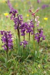 © David Beeson: Wild OrchidWild Orchids
