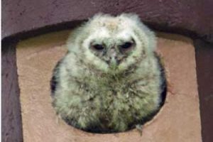 © David Beeson: Tawny Owl chick emerging from new nest box.