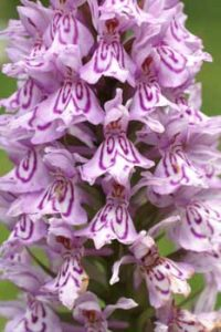 © David Beeson: Spotted Orchid.
