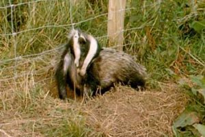 © David Beeson: Human effects on badger populations cause tens of thousands of deaths each year. This snared badger was in the Dartmoor National Park and action was suitably taken.