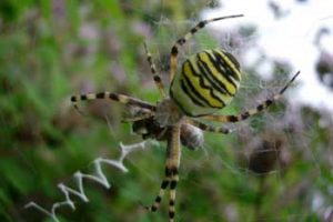© David Beeson: Wasp spiders have moved into our garden in recent years.