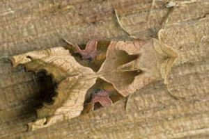 Laurie Campbell : Angle Shades Moth