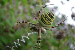 © David Beeson: Wasp spiders are moving north with climate change.