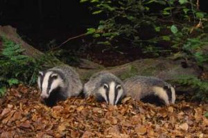 © Laurie Campbell: Badgers foraging.