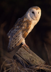 Barn Owl. Image by Laurie Campbell.