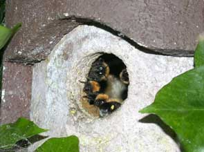 Bees 1 – Tits 0 : This is a nest of the Tree Bumblebee (a recent arrival from France), which as the name implies likes to use holes in trees.