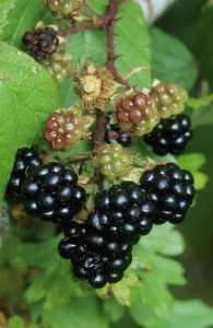 © Laurie Campbell: Blackberry - one of Autumn's fruits.