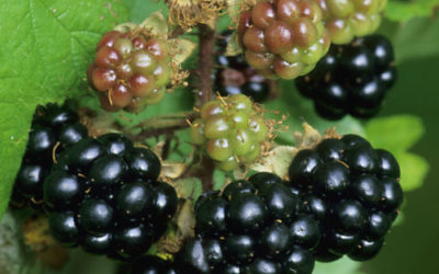 Wildlife to see in September – Brambles