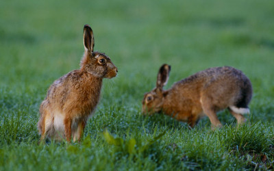 Wildlife to see in March – Hares