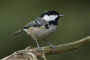 Andrew Crystal : Coal Tit