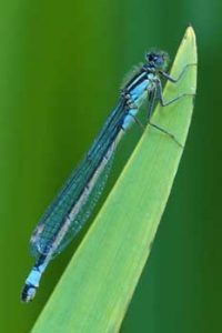 © Laurie Campbell - Common Blue Damselfly.