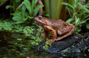 Common frogs return from their land dwellings to ponds in late February and March, to start breeding, which they are very vocal about, with the males croaking alluringly. Image by Laurie Campbell.