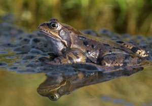 Common Frog and Frog Spawn. Image by Laurie Campbell.