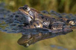 Laurie Campbell - Common frog and frogspawn