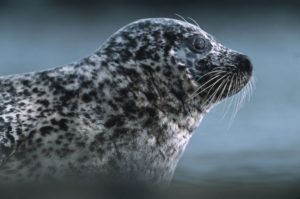 Common Seal. Image by Laurie Campbell
