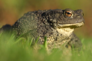 Common Toad. Image by Laurie Campbell.