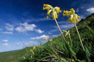 © Laurie Campbell: Cowslip.