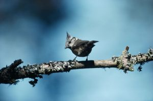© Laurie Campbell: Crested Tit.