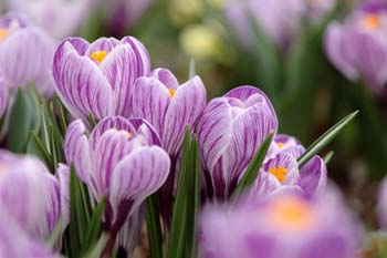 Wildlife & Nature to See in February : Crocus