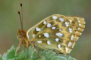 © Laurie Campbell: Dark Green Fritillary