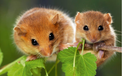 Wildlife to see in September – Dormouse