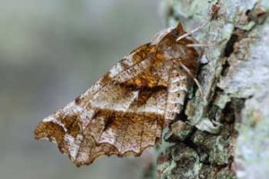Laurie Campbell : Early Thorn Moth