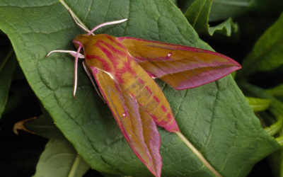 Wildlife to see in June – Butterflies and Moths