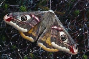 Laurie Campbell : Emperor Moth