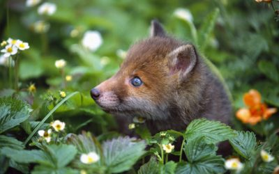 Spring Fox Cubs