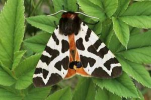 Laurie Campbell : Garden Tiger Moth