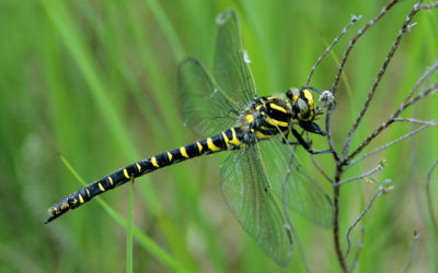 Wildlife to see in August – Dragonflies