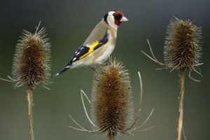 © Laurie Campbell. Goldfinch are specialist small seed feeders making teasel one of their favourite foods.