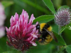 The UK's two rarest species, the Shrill Carder bumblebee and the Great Yellow bumblebee. The Shrill carder is only known from a handful of sites in the south of England and Wales, whilst the Great Yellow is restricted to the Hebrides, NW Scotland and the Orkneys. (photos by Dave Goulson).