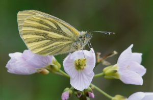 © Laurie Campbell: Green-veined White Butterfly.