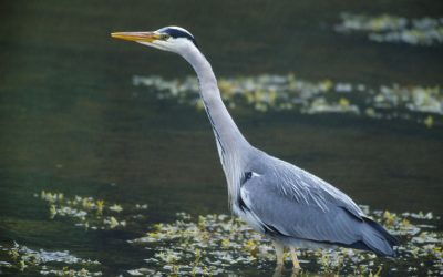 Wildlife to See in July : Grey Heron