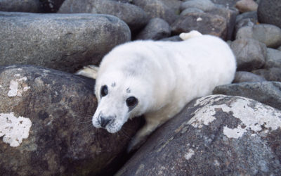 Wildlife to see in June – Seal Pups