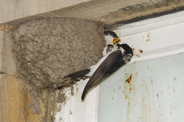House Martin feeding young by Laurie Campbell