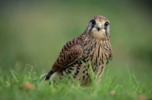 © Laurie Campbell: Kestrel