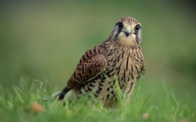 Wildlife to see in April : Kestrels