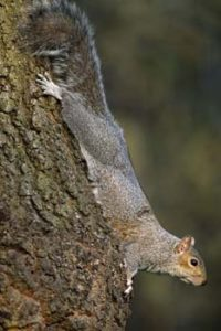 © Laurie Campbell: Grey Squirrel