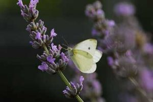© Laurie Campbell: Small White Butterfly