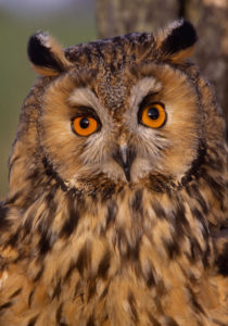 Long Eared Owl. Image by Laurie Campbell.