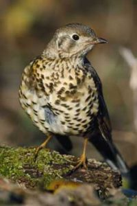 © Laurie Campbell: Mistle Thrush
