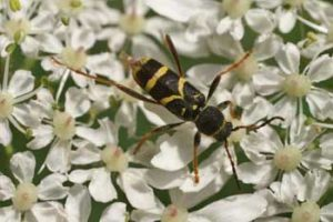 Clytus arietis - wasp beetle. Also part of the Longhorn Group