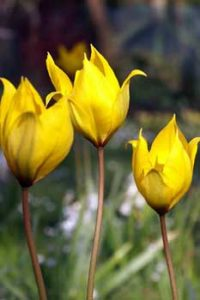 © David Beeson: Tulipa sylvestris, a naturalised plant found wild in some parts of the UK, has been added to some parts of the Spring Meadow to enhance its florific value.