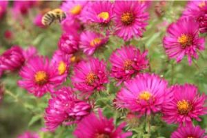 © David Beeson: American Asters are good insect plants in September. We are happy to have these in our flower borders.